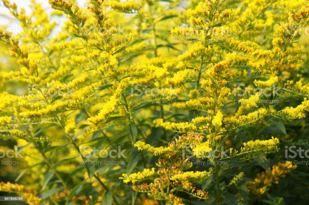 Solidago virgaurea goldenrod or woundwort green and yellow plant – zdjęcie