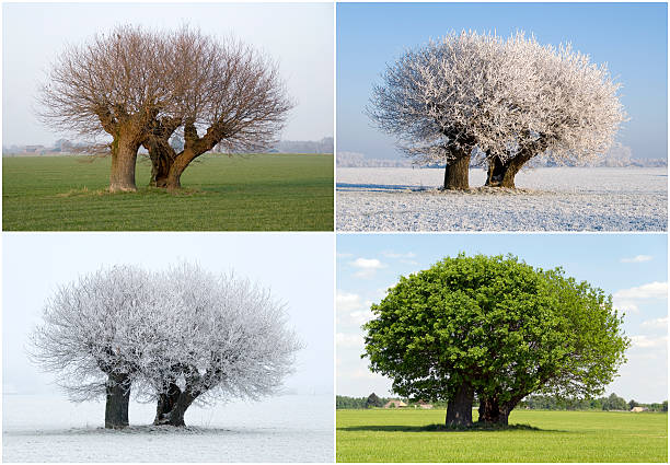 solitaire tree in four different seasons - four seasons stock photos and pictures