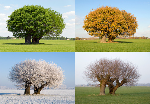 Image of the same tree in four different seasons. With fresh green leaves in spring, green leaves in summer, bare n fall and covered in snow in winter.  The tree stands solitaire in a field.