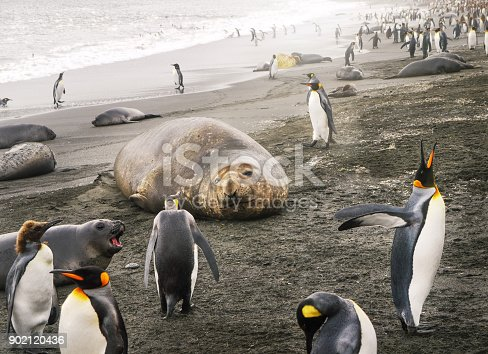 istock Solitary adult female southern elephant seal (mirounga leonina) with face clearly visible lying on a sandy beach surrounded by a colony of king penguins (aptenodytes patagonicus) and one antarctic fur seal pup. 902120436