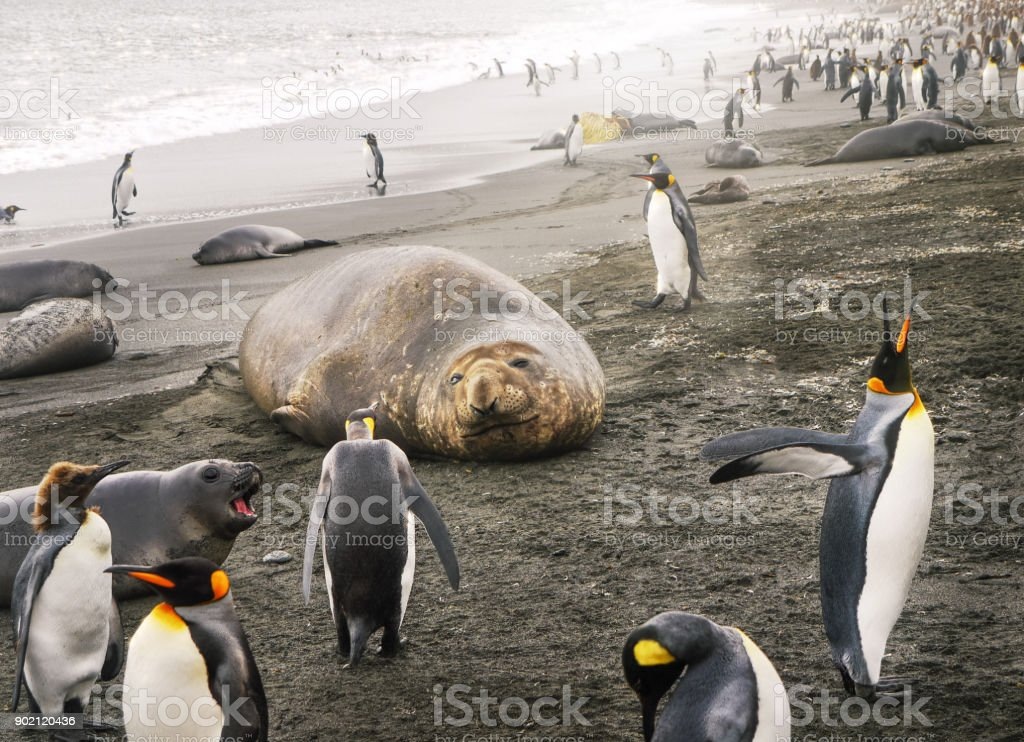 Solitary adult female southern elephant seal (mirounga leonina) with face clearly visible lying on a sandy beach surrounded by a colony of king penguins (aptenodytes patagonicus) and one antarctic fur seal pup. stock photo