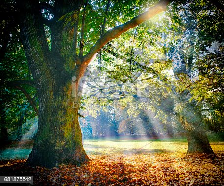 istock Solitary ancient oak with awesome sunbeams 681875542