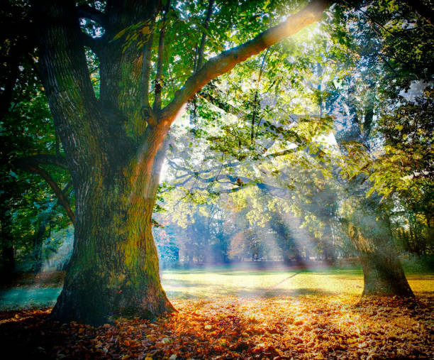 solitary ancient oak with awesome sunbeams - trees stock photos and pictures