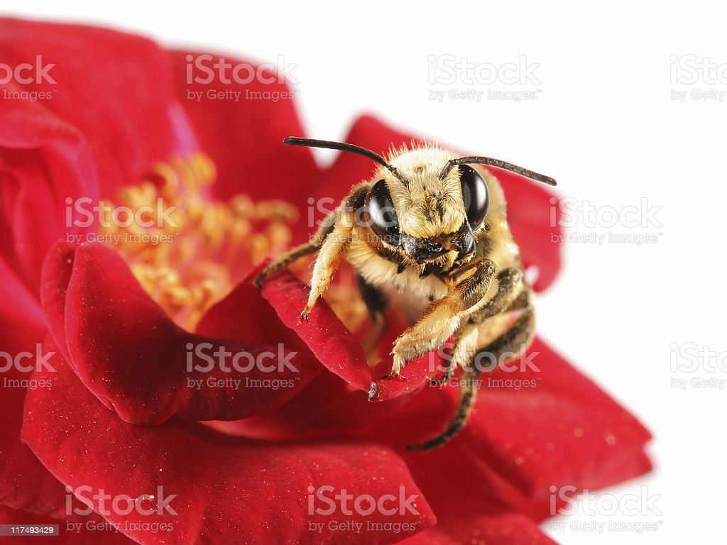 Solitary bee on red rose stock photo