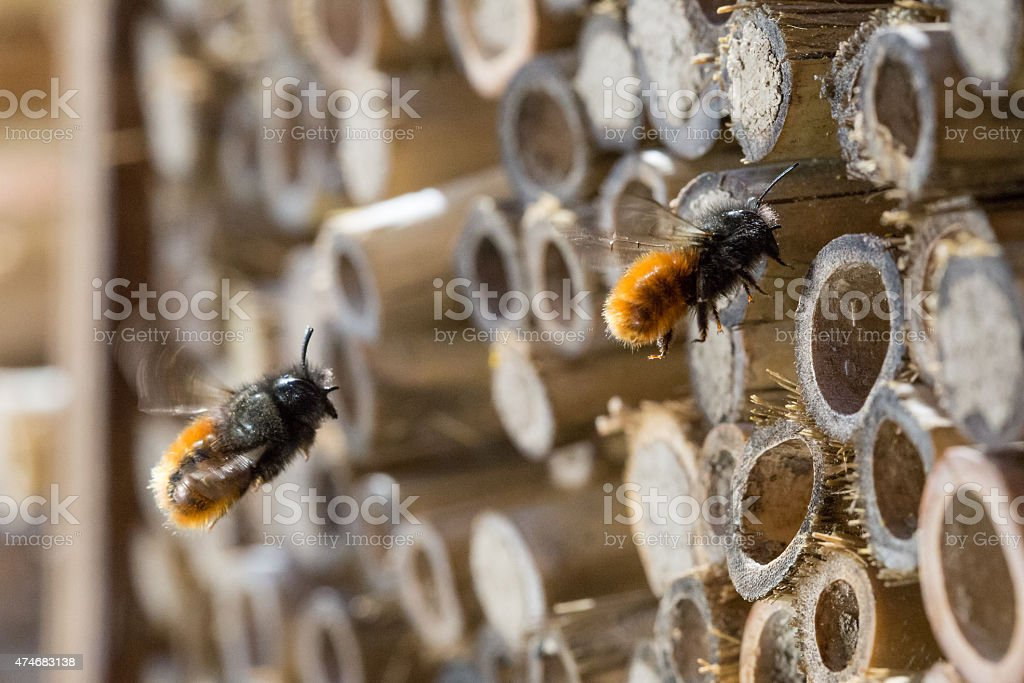 Solitary bees stock photo