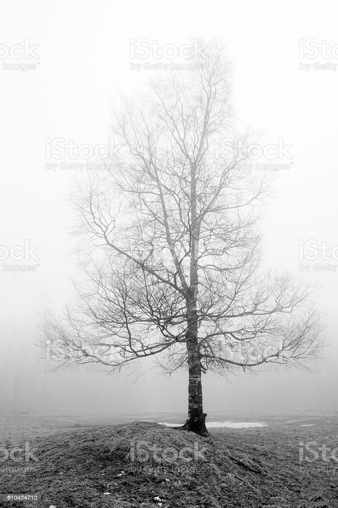Solitary birch tree with bare naked branches in fog stock photo