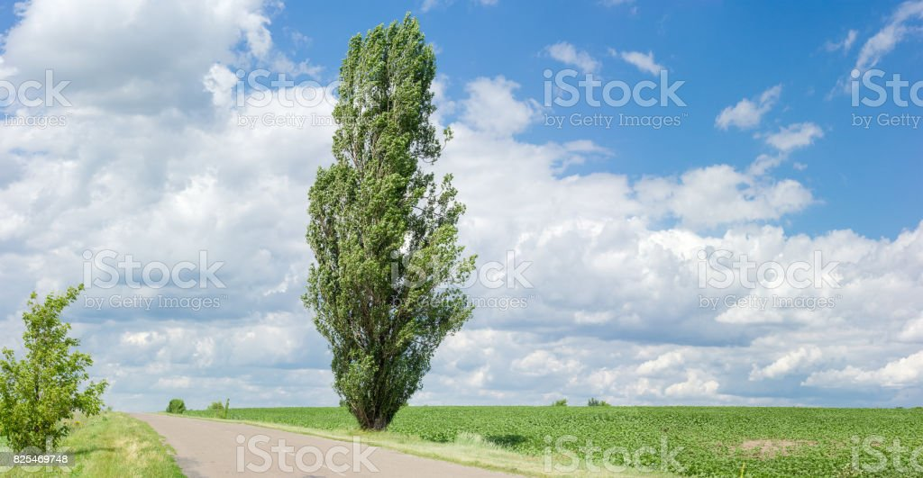 Solitary black poplar near of a rural road stock photo
