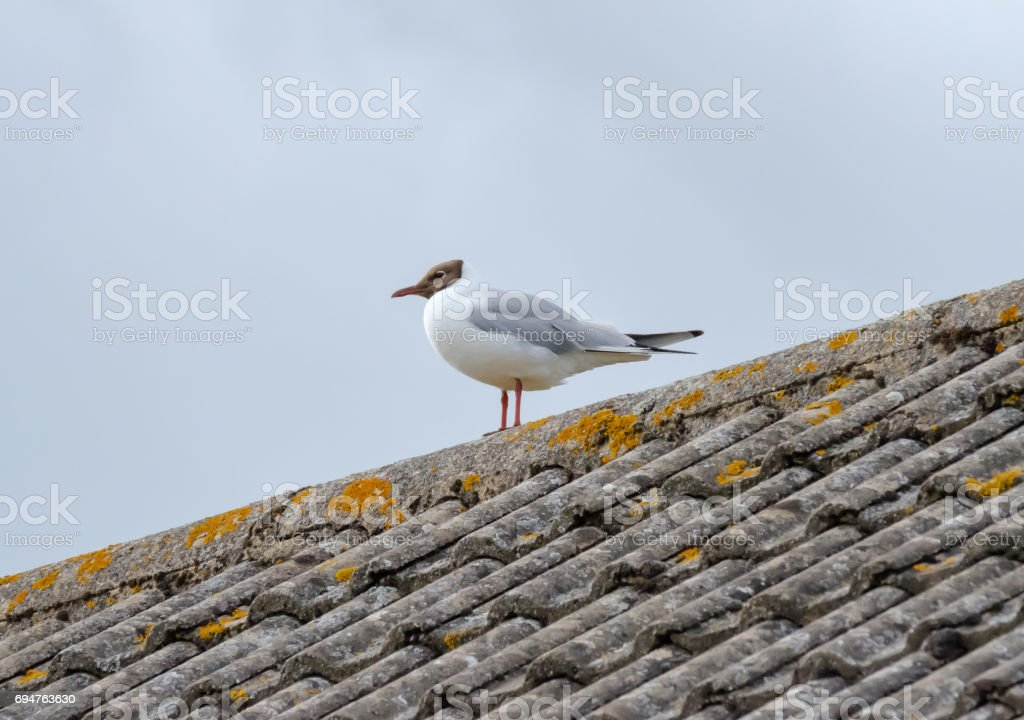 Solitary black-headed gull seen on the roof of a costal house in England. stock photo