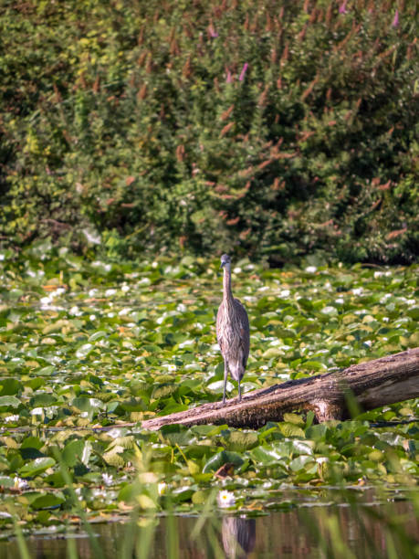 Solitary great blue heron perched on log amidst lily pads stock photo