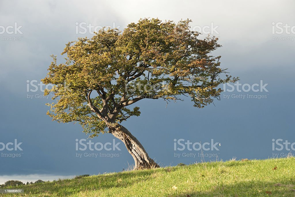 Solitary Hawthorn tree. stock photo