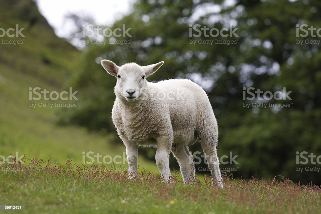 Solitary Lamb royalty-free stock photo