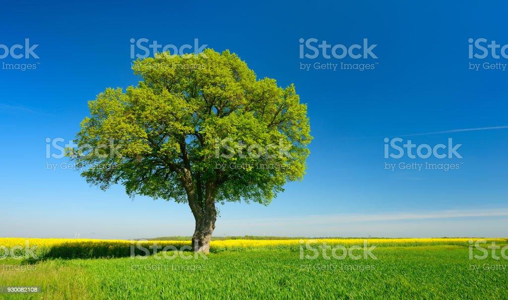 Kolza tohumu ve mavi gökyüzü altında buğday alanlarında yalnız ıhlamur ağacı - Royalty-free Akçaağaç Ağacı Stok görsel