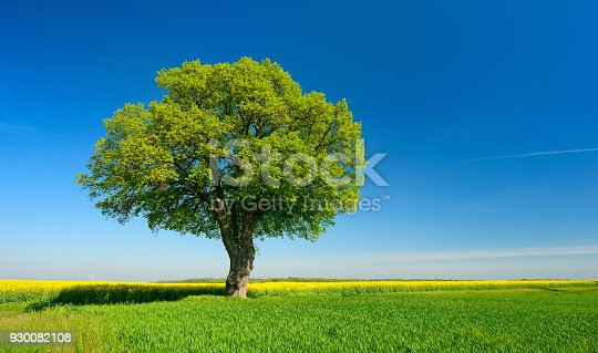 Old Linden Tree along grassy Farm Road through Fields of Wheat and Barley, Spring Landscape under clear blue sky