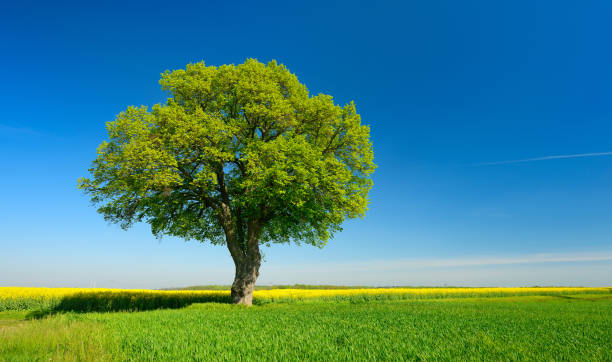 Solitary Lime Tree in Fields of Rapeseed and Wheat under Blue Sky stock photo