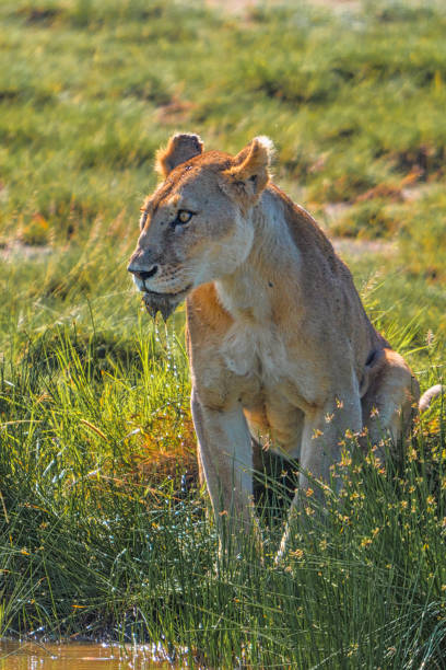 Solitary lion at the Serengeti watering hole stock photo