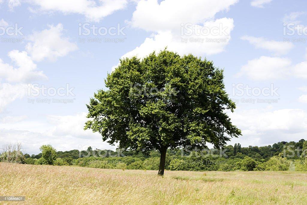 Solitary Oak royalty-free stock photo