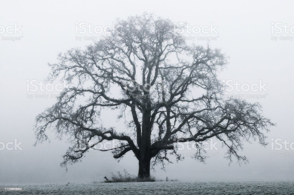 Solitary Oak tree in the fog royalty-free stock photo