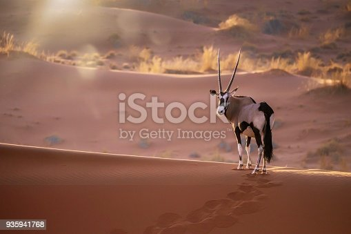 One oryx standing among red sand dunes turning to look at the camera, its footprints visible in the sand. Background desert grass lit by the sun.