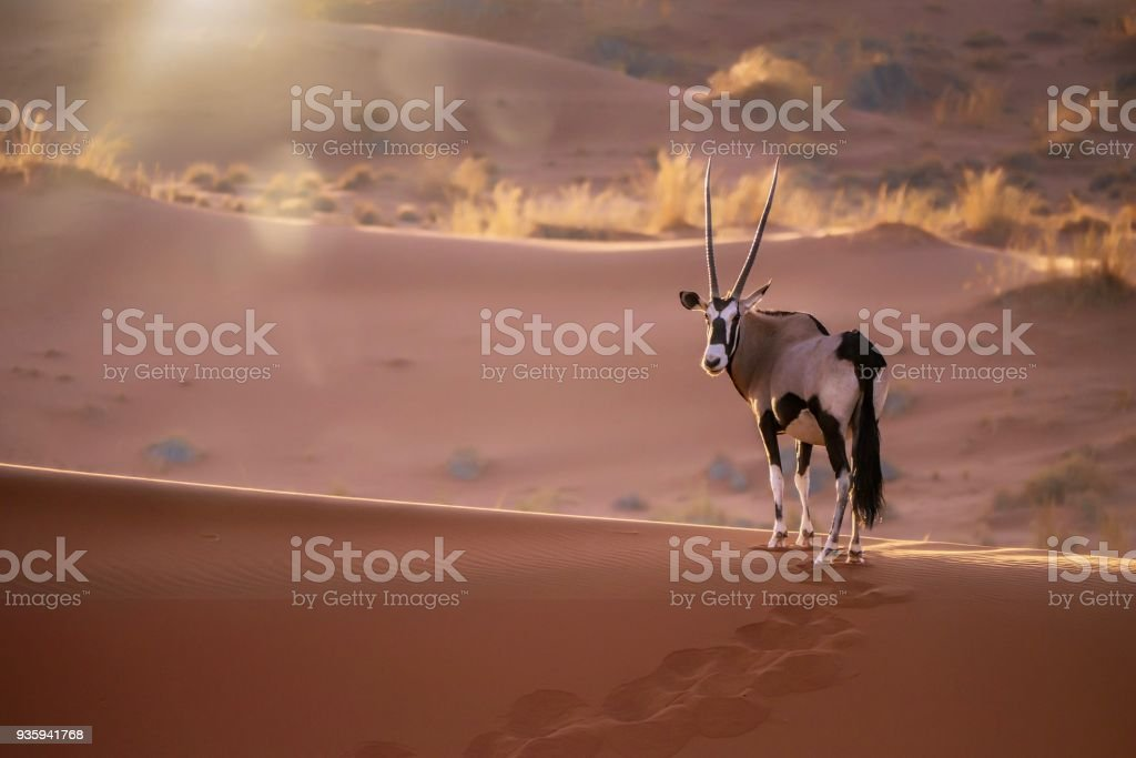 Solitary oryx (oryx gazella) standing still on the ridge of a sand dune, looking at the camera, while back lit with sunset light and lens flare. Sossusvlei, Namib Desert, Namibia. stock photo