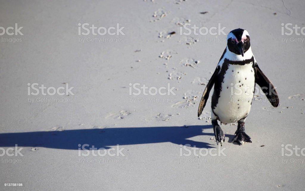 Fotografía de Un Solitario Pingüino En Una Playa y más banco de ...