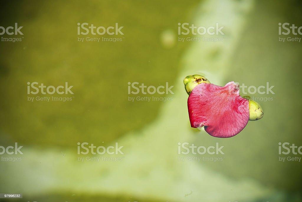 solitary petal royalty-free stock photo
