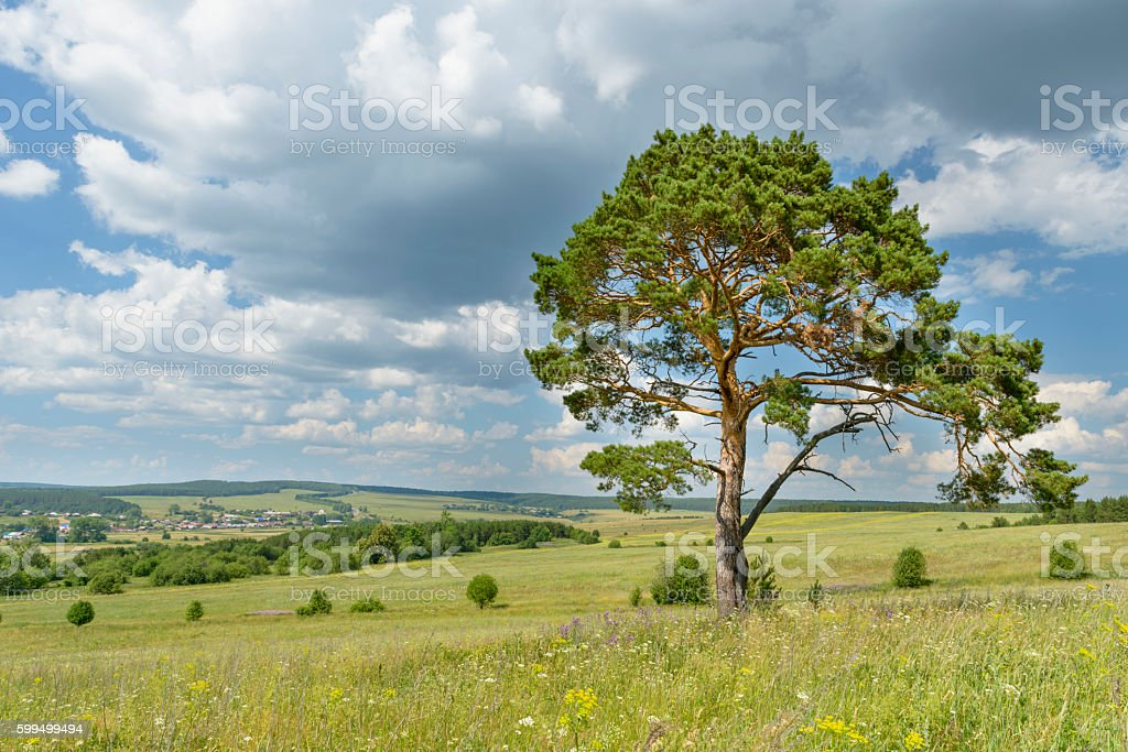solitary pine tree stands alone against blue sky with forest stock photo