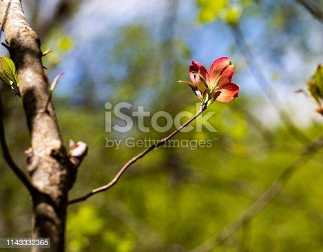 istock Solitary Pink Dogwood Bloom I 1143332365