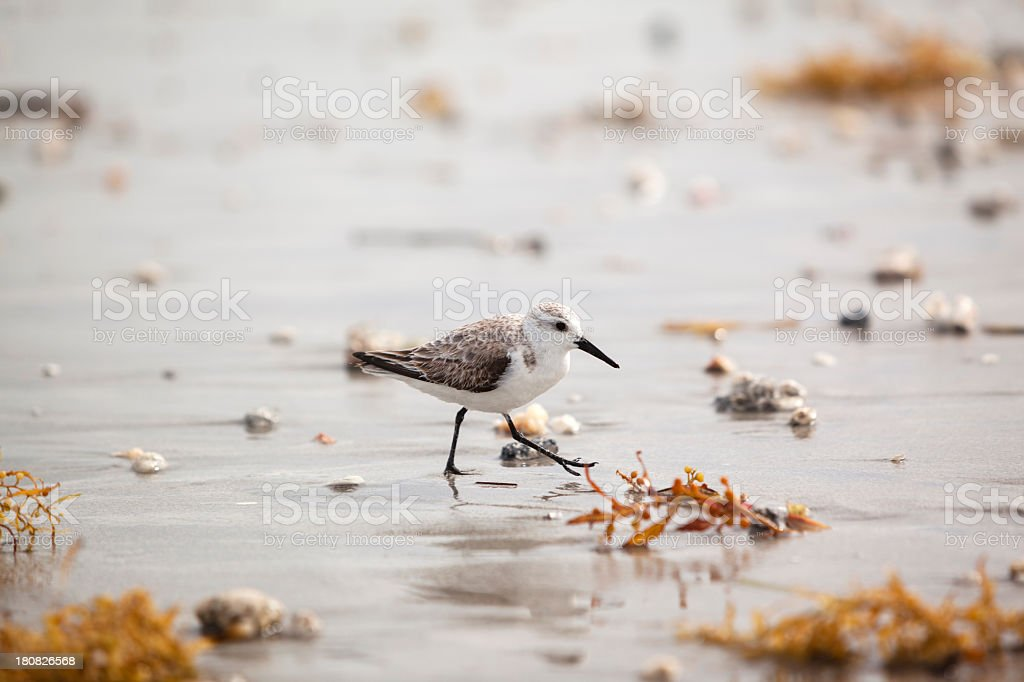 Solitary Sandpiper on the beach royalty-free stock photo