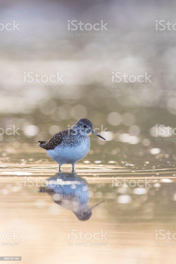solitary sandpiper - Royalty-free Animal Stock Photo