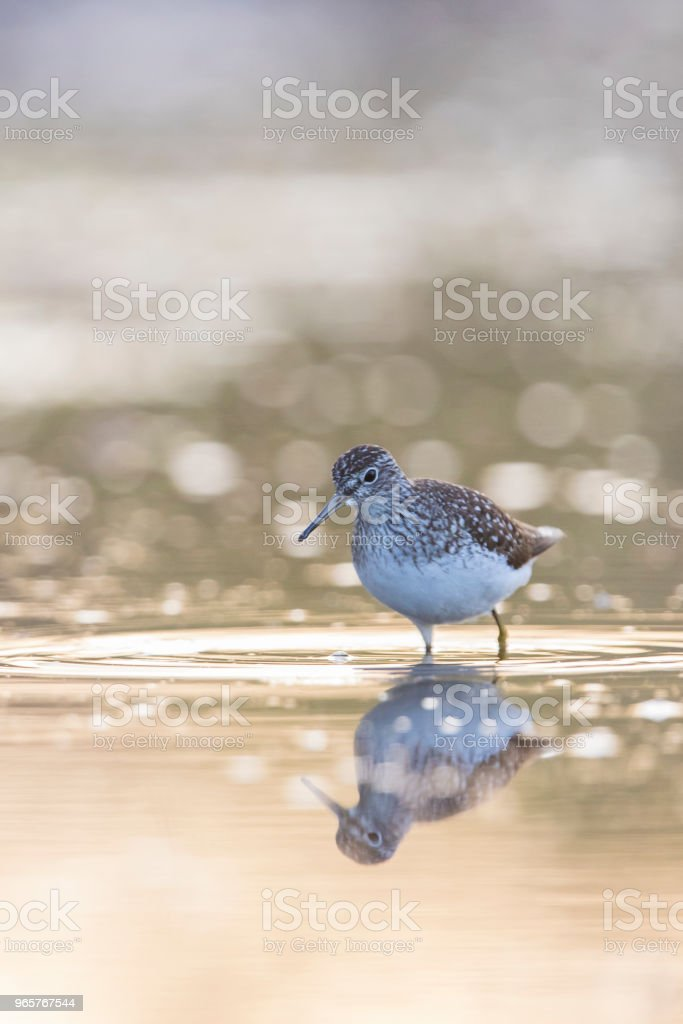 solitary sandpiper - Royalty-free Animal Migration Stock Photo