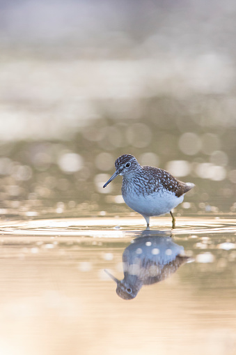 Solitary Sandpiper Stock Photo - Download Image Now