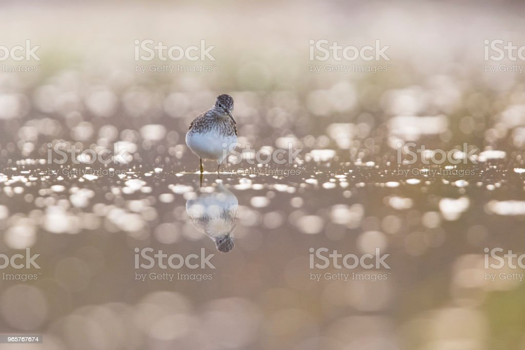 solitary sandpiper - Royalty-free Animal Stock Photo