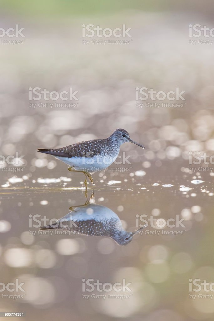 solitary sandpiper - Стоковые фото Charadriiformes роялти-фри