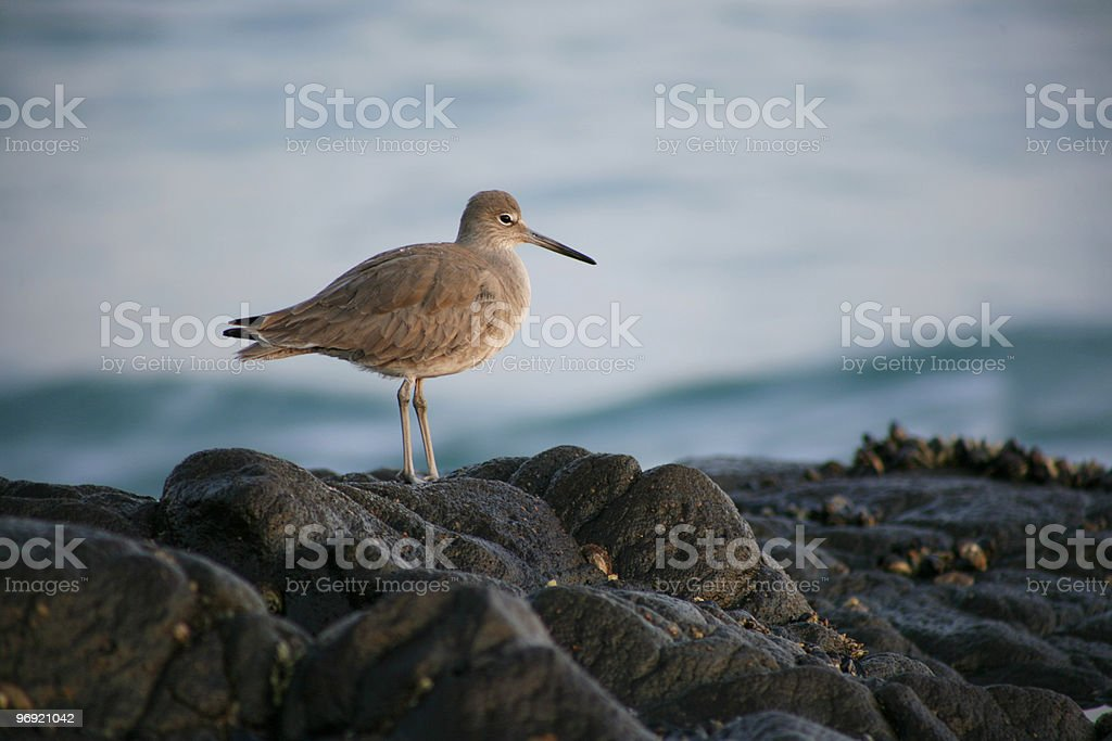 Solitary Sandpiper royalty-free stock photo