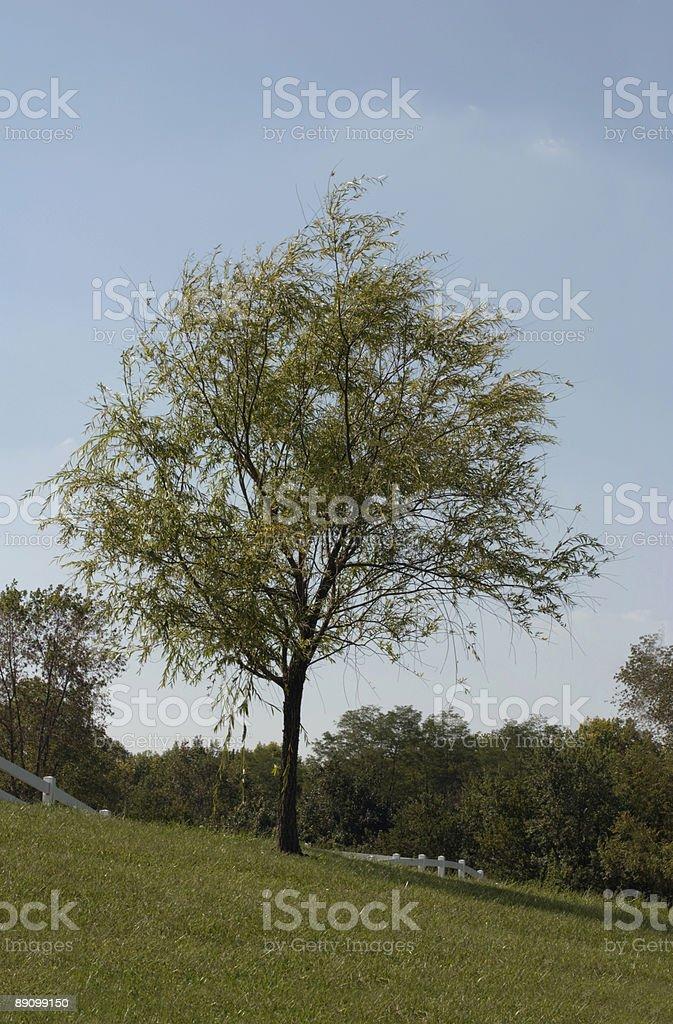 Solitary Shade Tree royalty-free stock photo