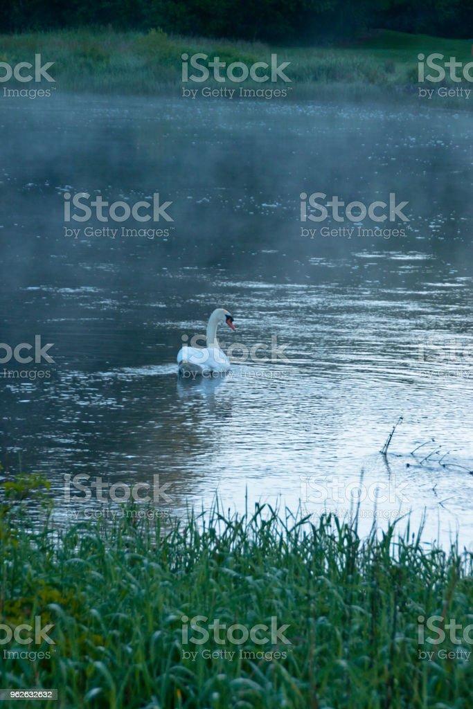 Solitary Swan, Spring Morning, River Cong, County Mayo, Ireland stock photo