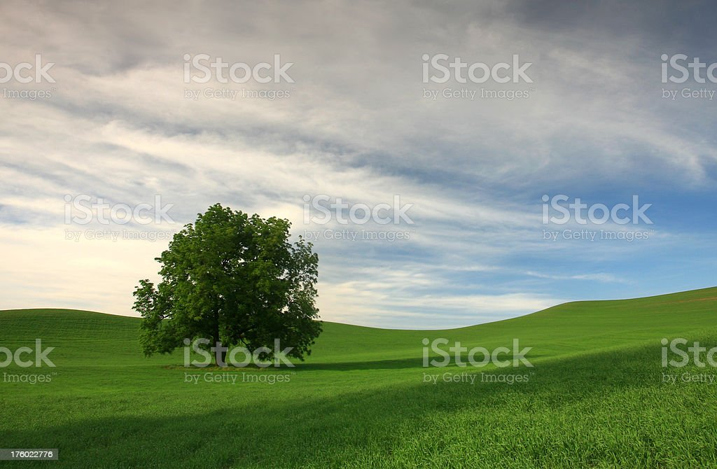 Solitary Tree in a Green Field royalty-free stock photo