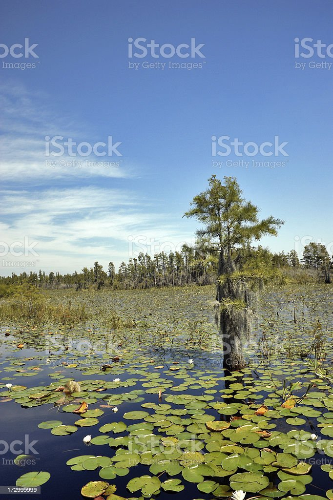 Solitary Tree in Okefenokee Swamp stock photo
