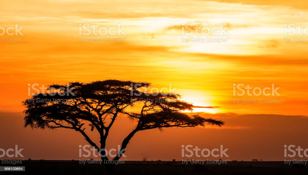Solitary tree in the savanna against a background of a stunning sunset. stock photo