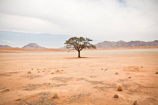 einsamen baum mit blättern - wüstenarten stock-fotos und bilder