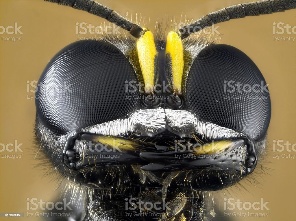 Solitary wasp, Ectemnius species royalty-free stock photo