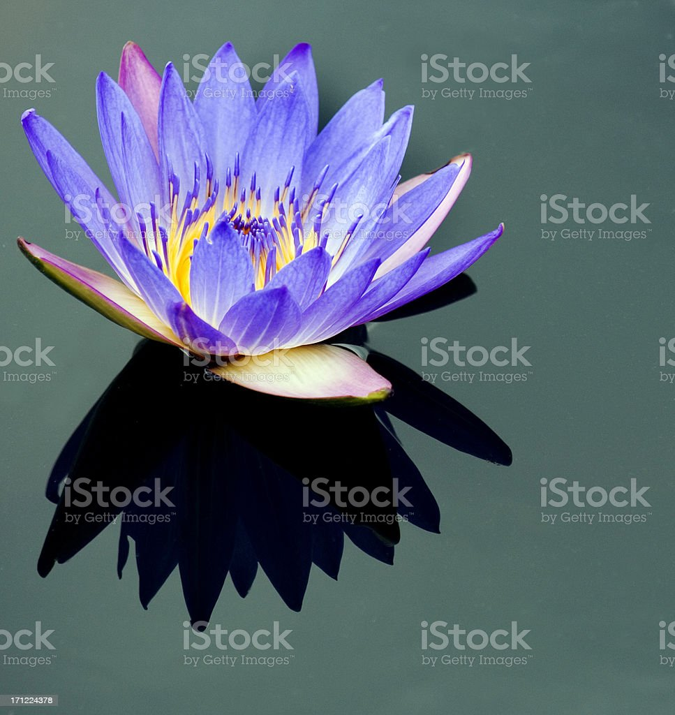 Solitary Water Lily & Shadow royalty-free stock photo