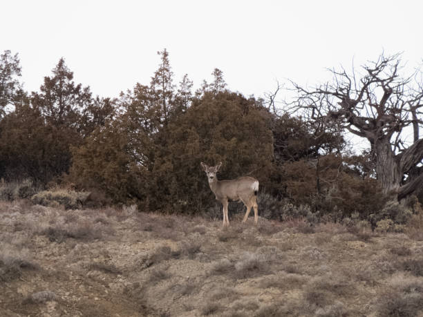 Solitary white-tailed female deer in Colorado in early Spring stock photo