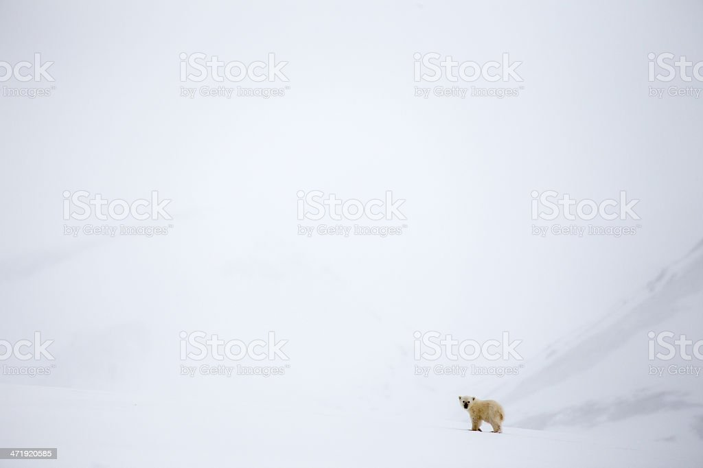solitary young polar bear cub in Svalbard stock photo
