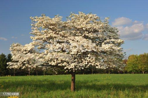 Solitude white dogwood