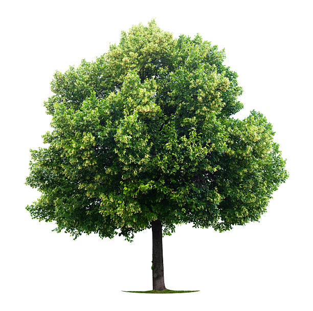 A solitude linden tree on a white background stock photo