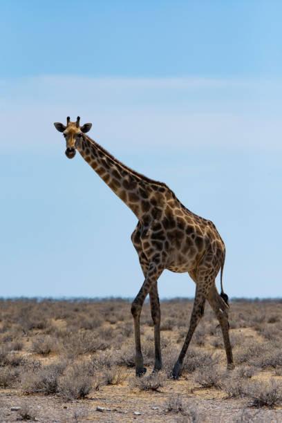 A solo giraffe looks toward the camera stock photo