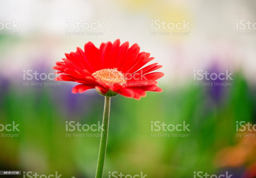 Solo red Gerbera Daisy with colourful background stock photo