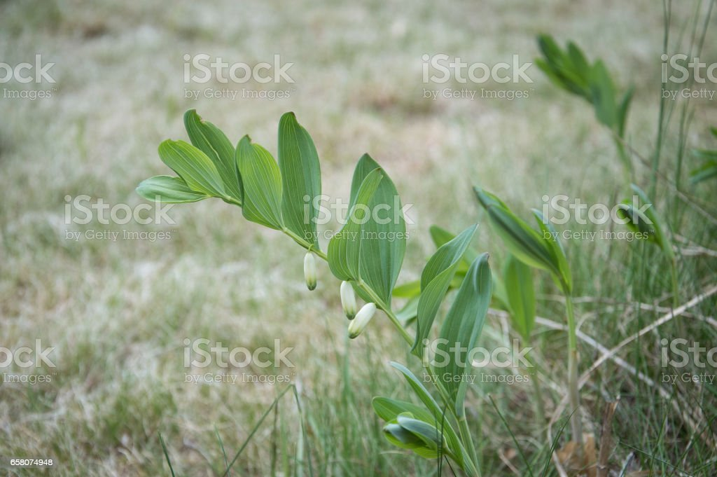 Solomon's seal flower with green oval leaves blooming in early spring meadow on empty background. royalty-free stock photo