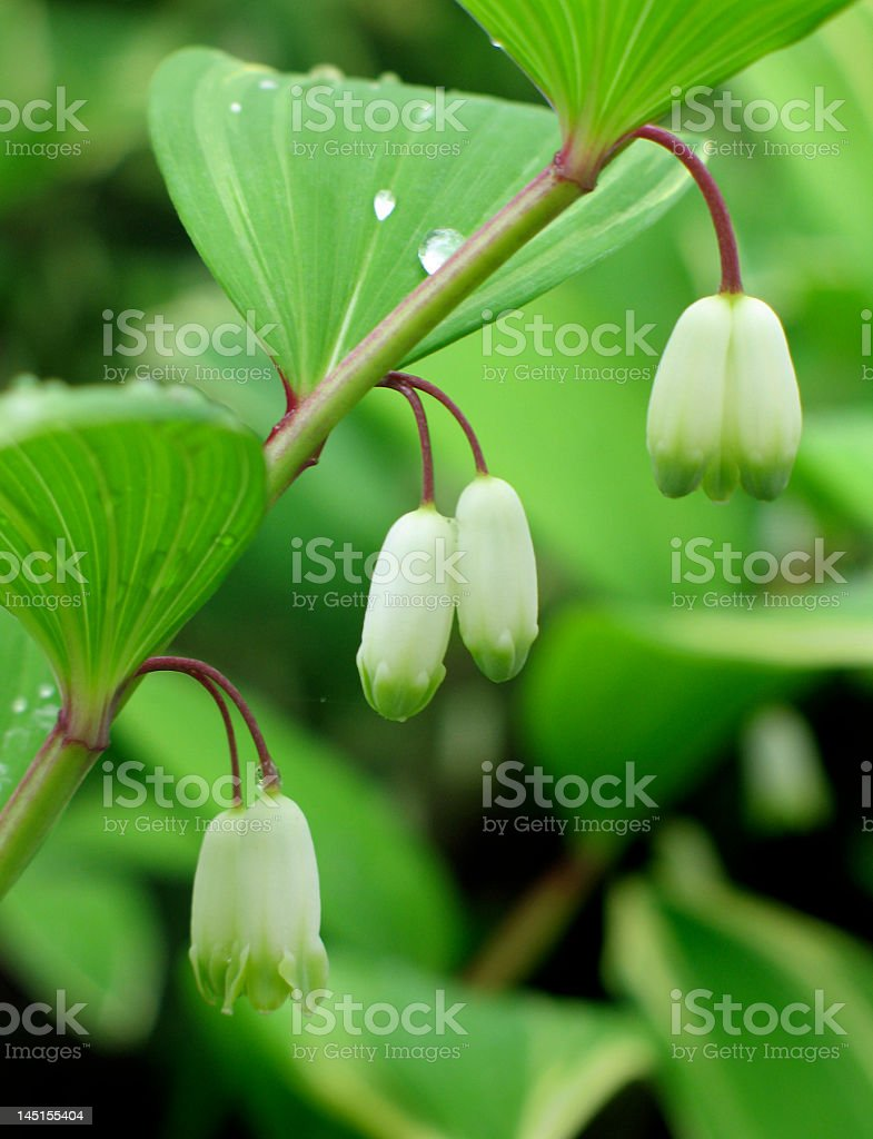 Solomon's seal flowers stock photo